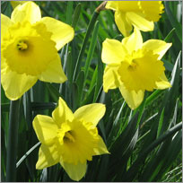 Daffodil Flower Care Tips