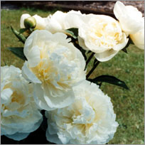 Peony Flower Care Tips