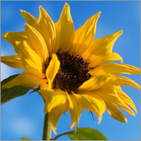 Sunflower  Flower Care Tips
