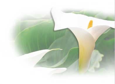 Calla Lily Tropical Flowers