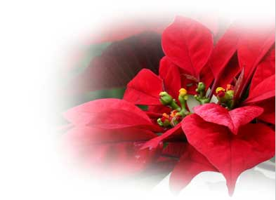 Poinsettia Tropical Flowers