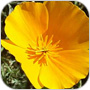 California State Flower Golden Poppy Flower