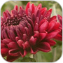 November Flower Chrysanthemum