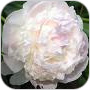 Indiana State Flower Peony