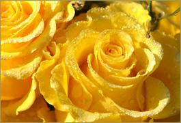 Yellow roses symbolism yellow rose symbolism mightylinksfo